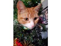 male ginger tom cat