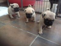 Pug pups for sale