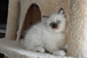 2 Adorable Ragdoll Kittens Available!