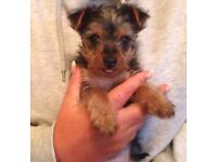 Yorkshire Terrier male puppy, 10 weeks old & ready to go, Stockport £425