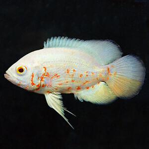 Looking to trade 2 Albino Oscars for something different