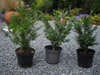 Box trees for shaping or hedging