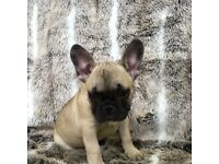 French Bulldog Boy Louie 11 wk old