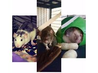 Three female rats