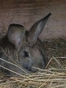 Looking for a gray female Flemish giant rabbit