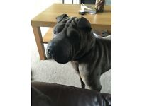 Very sad, reluctant sale, 20 mth Blue Sharpei