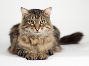 "Young Male Cat - Domestic Medium Hair: ""Bruce"""