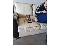 Jack russell for sale