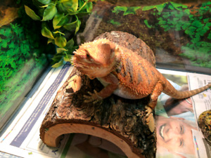 Young Bearded Dragon - Special Coloration