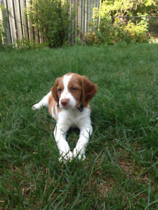 Brittany Spaniel pappies