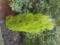 Mature Established Conifer Tree 55in High x 20in Wide or 4 1/2 ft x 1 1/2 ft