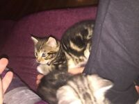 Last maine Coon x Bengal kitten
