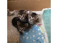 Part Maine Coon Kittens