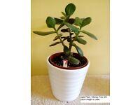 Jade Plant Money Trees