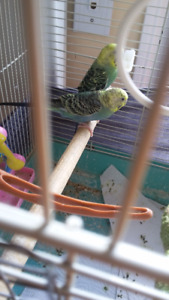 2 BUDGIES READY TO LAYS EGG.WITH CAGE