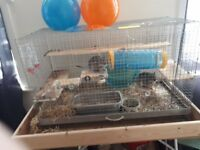 Two male degus with large cage