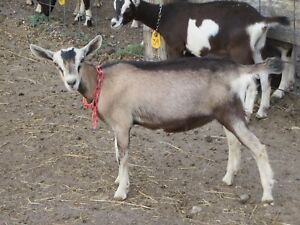 Purebred Registered French Alpines dairy goats