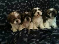 Super cute shih tzu puppies.