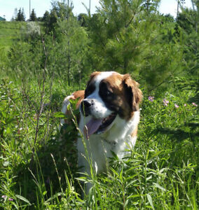 Looking for St.Bernard dog for play date