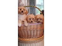 Cavashon puppies sale