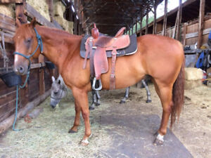11 yr old Papered Gelding