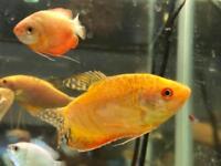 Golden snakeskin gourami peaceful community tropical fish