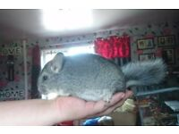 Baby Standard grey voilet carrier male
