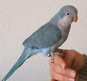 special baby blue quaker parrot baby handfed friendly for sale