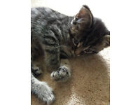 Beautiful female kitten with a lovely temperament