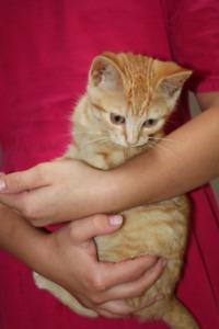 Playful Orange House-trained Female Kittens
