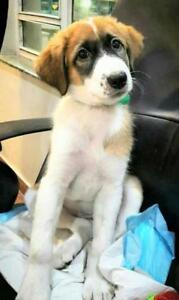 Baby Female  - Australian Shepherd-Border Collie