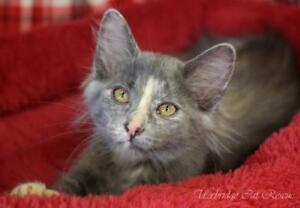 "Baby Female Cat - Dilute Tortoiseshell: ""Fern"""