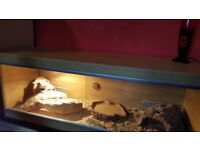 Bearded dragon and vivarium for sale.