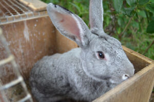 American Chinchilla/New Zealand cross rabbits for sale