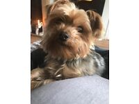4 Year Old Yorkshire Terrier