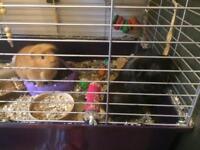 2x male guinea pigs & cage