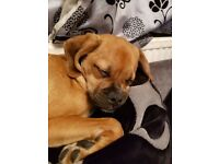 1 year male puggle Teddy (pug x beagle) trained. good homes only