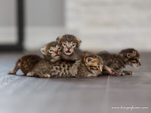 Exotic Savannah F4 Kittens