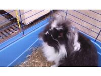 Beuatiful Rabbit TANGO male, age 1.5