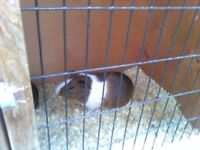 2 male guinea pigs and cage newish 50 pound the lot text only pls