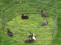 Mummy rabbit and netherland dwarf bunnies for sale