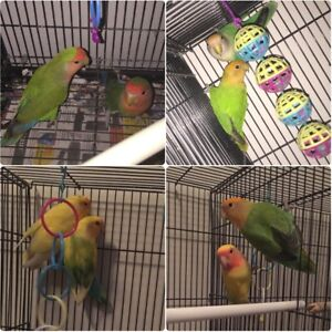 Four pairs of breeding lovebirds large cage included  cages $150