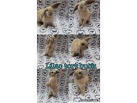 Baby minilop rabbit