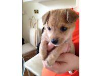 Yorkie X bichon frisée puppy