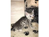 Bengal kittens for sale Ready to go now
