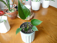 Plants for sale-Anthurium plant in 10 cm ceramic pot
