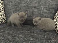 Beautiful full pedigree British shorthair kittens for sale pure blue gccf registered