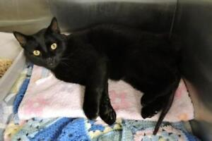 "Adult Male Cat - Domestic Short Hair: ""Milton"""