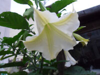 Brugmansia - Angels Trumpet Huge fragrant White flowers - Mature Plants - Pokesdown BH5 2AB