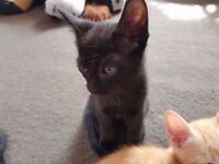 Lovely Oriental Kittens